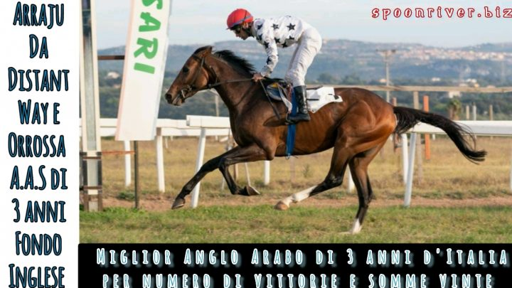Clip Arraju miglior Anglo Arabo d'Italia, highlights e interviste