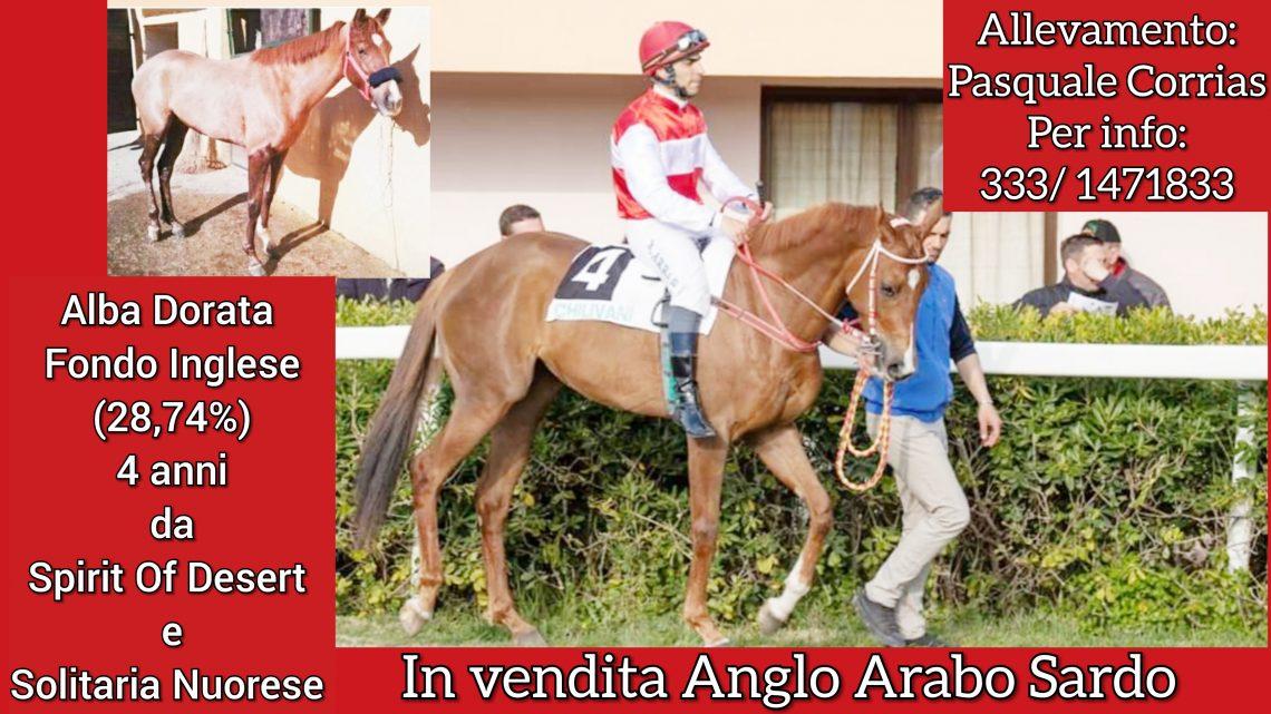Cavallo in vendita: Alba Dorata Fondo Inglese di 4 anni.
